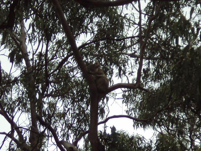 Поспаливи коали